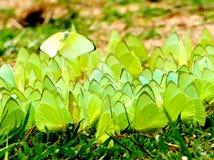 Green Butterflies Stock Photography