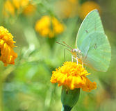 Green Butterflies. On marigold nectar feeders Royalty Free Stock Image