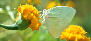 Green Butterflies on marigold Royalty Free Stock Images