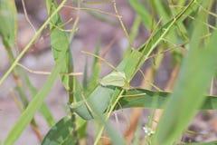 Butterflies camouflaging among green plants. Green butterflies mimicking the vegetation stock image