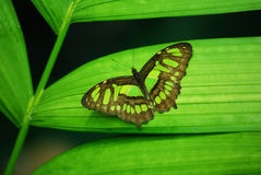 Green Butterfly. On a plant leaf in the rainforest royalty free stock photos