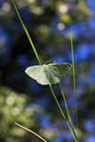Green butterfly. Little blue butterfly sits on a blade of grass Royalty Free Stock Photo
