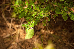 Green butterfly. Hiding among green foliage Royalty Free Stock Photos
