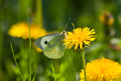 The green butterfly. On a dandelion flower stock photography