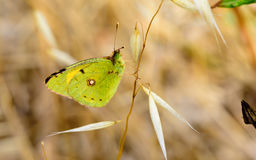 Green butterfly on dry branches Royalty Free Stock Image