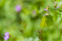 Green butterfly feeding. On pink flowers Stock Images