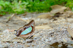 Green butterfly on ground. Common NawabPolyura athamas, beautiful butterfly was eating food in nature Stock Photography