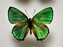 Green butterfly, Japan Stock Image