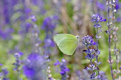 Green butterfly and blue Salvia flower Stock Images