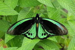 Green butterfly on leaves Royalty Free Stock Images