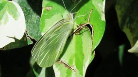 Green butterfly mariposa verde. Green butterfly in a leaf stock images