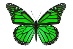 Green Butterfly royalty free stock images