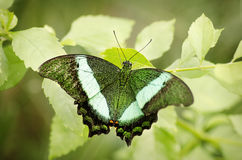 Green butterfly in natural setting Royalty Free Stock Photo