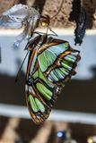 Green butterfly out of its cocoon stock photo