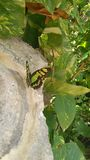 Green butterfly perched on the rock with green branches. Green butterfly in the rock stock photo