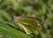 Green butterfly - Pieris brassicae Stock Photos