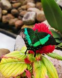 Butterfly in green color on red flower royalty free stock photos