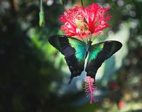 Green butterfly on red flower. Sea green swallowtail butterfly Papilio lorquinianus feeding on hanging hibiscus nectar Hibiscus schizopetalus royalty free stock image