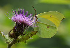 A green butterfly. The butterfly's two pairs of wings intertwined, and stay on the purple flower absorbing the honey Royalty Free Stock Images