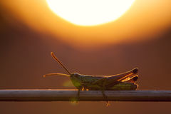 Green grasshopper sit on a plant straw Stock Image