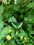 Green butterfly royalty free stock photo