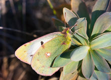 Green butterfly sitting on a milkweed Stock Image