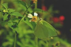 Green butterfly is sucking nectar. on green leaves background.  stock photography