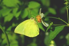 Green butterfly is sucking nectar. on green leaves background.  royalty free stock photo