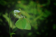 Green butterfly is sucking nectar. on green leaves background.  stock photos