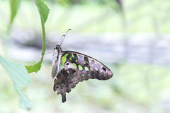 Green Butterfly Tailed Jay , Graphium agamemnon , Family Papilionidae stock image
