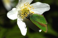 Green butterfly on the white flower Stock Photography