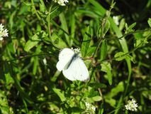Green butterfly on white flower Stock Image