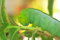 Green butterfly worm close up. Close up of green butterfly worm on the plant branch Royalty Free Stock Photos