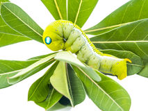 Green butterfly worm on the leaves Royalty Free Stock Photography