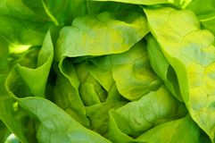 Green butterhead lettuce Royalty Free Stock Photo