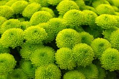 Green button Chrysanthemums Stock Photo