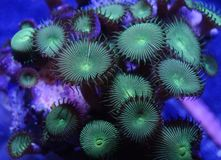 Green Button Coral. Detail of green button coral underwater Royalty Free Stock Photography
