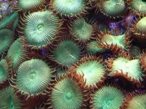 Green Button Polyps. Green Button Polyp Coral Royalty Free Stock Photo