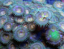Green Button Polyps Coral. Detail of green button polyps coral colony underwater Royalty Free Stock Image