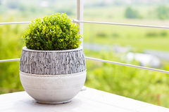 Green buxus in ceramic flower pot on a balcony Stock Photo