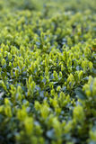 Green buxus Stock Image