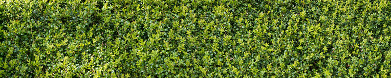 Green buxux bush hedge Royalty Free Stock Images