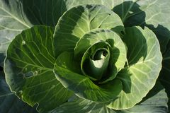 Green Cabbage Royalty Free Stock Images
