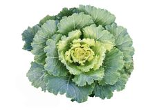 Green cabbage stock photo