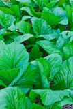 The green cabbage Stock Images