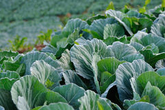 Green cabbage. Green cabbage in farmland Royalty Free Stock Photography