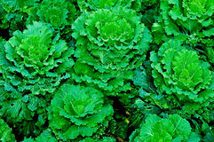 The Green cabbage Stock Photography