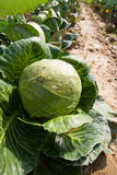 Green cabbage. Natural green cabbage on field Royalty Free Stock Images