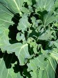 Green cabbage. In backyard house garden Royalty Free Stock Photos