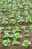 Green cabbage bed. Stock Image